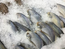 Pomfret fish frozen Royalty Free Stock Image