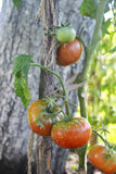 Pomidorów rosnąć fotografia stock