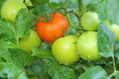 pomidorów target3860_1_ fotografia stock