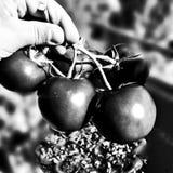 pomidor czerwony Artystyczny spojrzenie w czarny i biały fotografia stock