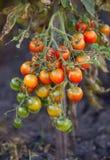 Pomidor na krzaku Zdjęcie Royalty Free