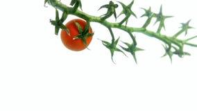 Pomidor na winogradzie w wodzie zbiory wideo