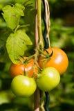 pomidor roślinnych Zdjęcie Royalty Free