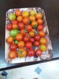 Pomidor w mój ogródzie zdjęcie royalty free