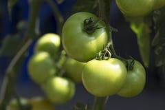 Pomidor w ogródzie Obraz Royalty Free