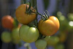 Pomidor w ogródzie Obrazy Royalty Free