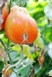 Pomidor z pająkiem zdjęcia royalty free