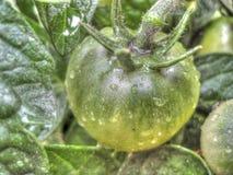Pomidor z waterdrops Fotografia Royalty Free