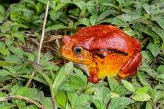 Pomidorowa żaba, dyscophus antongilii, marozevo zdjęcia stock