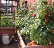 Pomidorowa kultywacja w wazach miastowy ogród na terrac Obrazy Stock