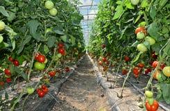 Pomidorowa pepiniera Zdjęcie Royalty Free