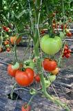 Pomidorowa pepiniera Obrazy Royalty Free
