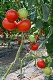 Pomidorowa pepiniera Obraz Royalty Free