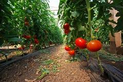 Pomidorowa roślina Obraz Royalty Free