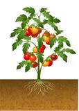 Pomidorowa roślina z korzeniem pod ziemią ilustracji