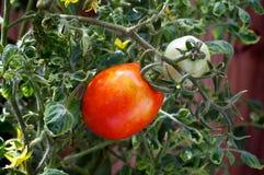 Pomidorowa roślina z owoc Zdjęcia Stock