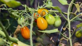Pomidorowa roślina Zdjęcie Royalty Free