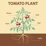 Pomidorowa roślina Zdjęcie Stock