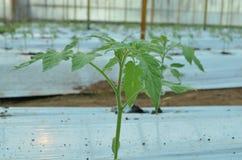 Pomidorowa roślina Zdjęcia Stock