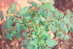 Pomidorowa roślina Fotografia Royalty Free