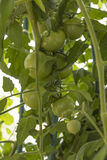 Pomidorowa roślina (Solanum lycopersicum) Obrazy Royalty Free