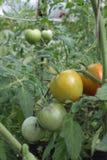 Pomidorowa roślina z czerwieni owoc Obrazy Stock