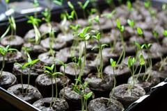 Pomidorowa rozsada zaczyna w glebowych wyrkach obraz royalty free