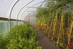 Pomidorowa uprawa Obrazy Stock