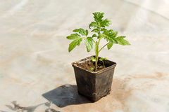 Pomidorowe rośliny i ogórek rośliny w jarzynowych szklarniach Pomidorowa rozsada zanim zasadzający w ziemię, szklarniane rośliny, Obrazy Royalty Free