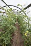 Pomidorowe rośliny w małej szklarni Fotografia Royalty Free