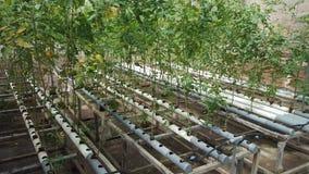 Pomidorowe rośliny w zbiornikach wodnych z tubkami Zdjęcie Royalty Free