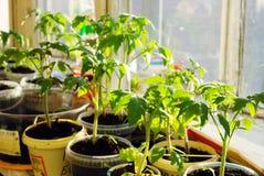 pomidorowe rozsad zielone flance Zdjęcia Royalty Free