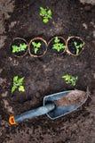 Pomidorowe rozsady na czerni ziemi w szklarni Zdjęcie Royalty Free
