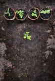 Pomidorowe rozsady na czerni ziemi w szklarni Zdjęcia Royalty Free