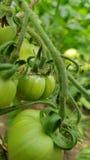 Pomidorowe uprawy Zdjęcie Stock