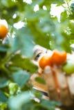 Pomidorowego żniwa zrywania Średniorolni pomidory zdjęcie royalty free