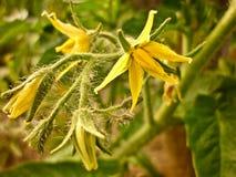 Pomidorowego koloru żółtego kwiat Obrazy Stock