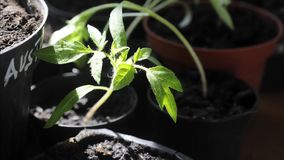 Pomidorowej rośliny dorośnięcie w wazowym czasu upływie zbiory wideo