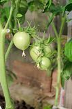 Pomidorowi krzaki z owoc Kwiatonośne rozsady zdjęcia stock