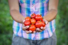 Pomidorowy żniwo w rękach kobieta rolnik obrazy stock
