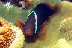 Pomidorowy Clownfish zdjęcie royalty free