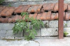 Pomidorowy dorośnięcie od asfaltu zdjęcie stock