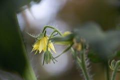 Pomidorowy kwiat Obrazy Royalty Free
