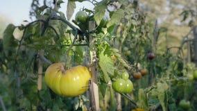Pomidorowy kwiatu łóżko przy zmierzchem Żółci pomidory z poparć prąciami zbiory wideo