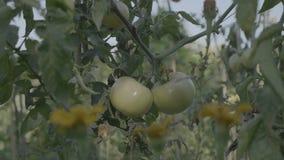 Pomidorowy kwiatu łóżko przy zmierzchem Żółci pomidory z poparć prąciami zbiory