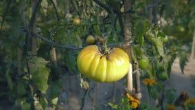 Pomidorowy kwiatu łóżko przy zmierzchem Żółci pomidory z poparć prąciami zdjęcie wideo