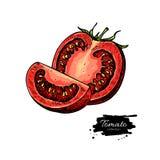 Pomidorowy wektorowy rysunek Odosobniony pomidor i pokrajać kawałek warzywo Fotografia Stock