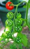 Pomidorowy winograd z rewolucjonistki i zieleni pomidorami Fotografia Stock