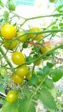 Pomidorowy yello Piękny zdjęcie royalty free