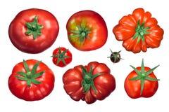 Pomidoru calyx up, odgórny widok, ścieżki Fotografia Stock